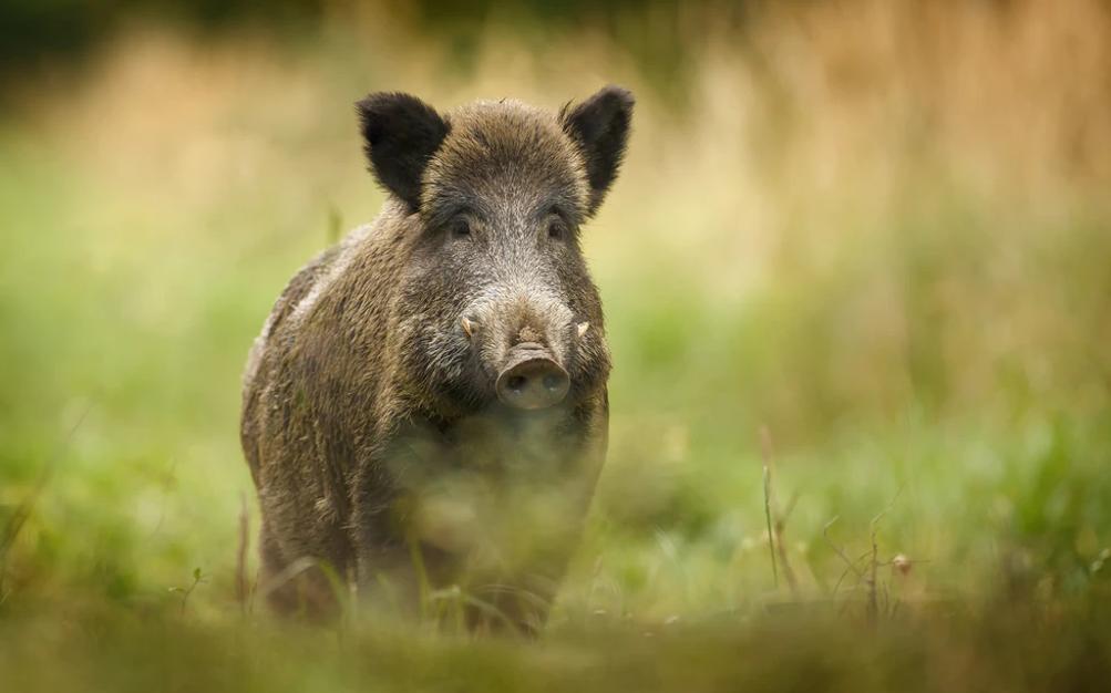 Test av lockmedel för vildsvin